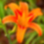 Daylily Yellow — Xuan Cao Huang (萱草黄)
