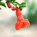 Pomegranate Flower Red — Shi Liu Hong (石榴红)