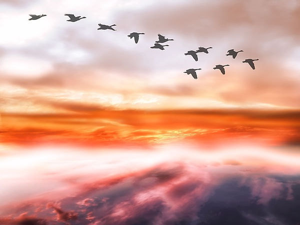 Soaring swan geese