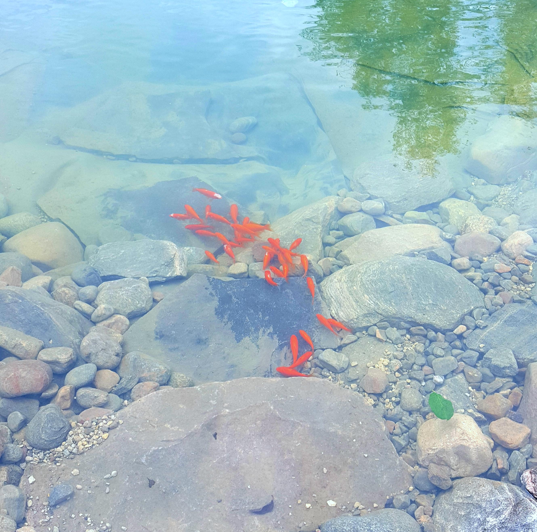 Swim Pond - Gold Fish