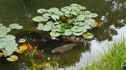 Koi under the Lily pads