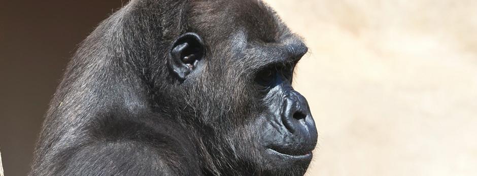 The first cataract surgery on gorilla