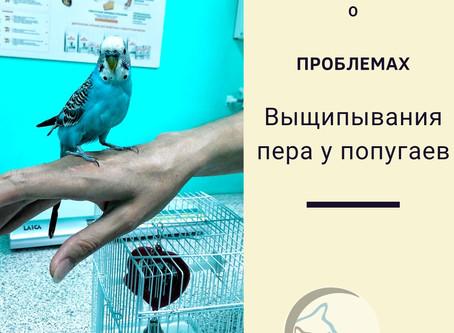 Причины выщипывания пера у попугаев