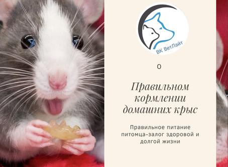 Чем можно и нельзя кормить домашних крыс?