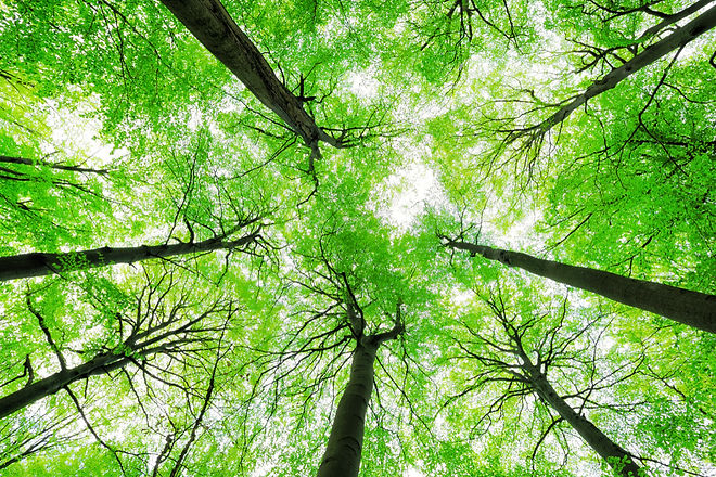 Looking up into the Canopy of a Beech Tr