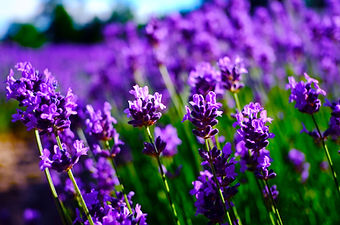 Beautiful lavender fields.jpg