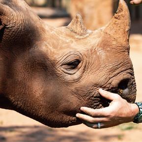 力挺犀牛生存 宇舶錶推出第二代Big Bang Unico SORAI/ Fight for rhinoceros, HUBLOT unveiled new Big Bang Unico SORAI
