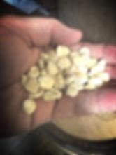 Hickory Cane Corn