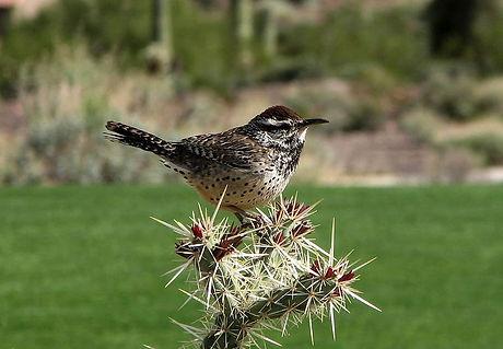 cactus wren.jpg