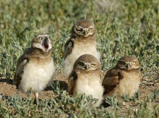 burrowing owl one.jpg