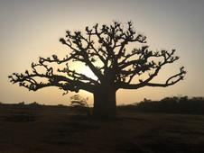 Baobab a contraluz en Toubab Dialaw