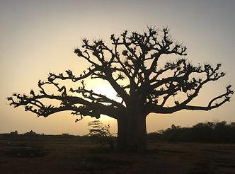 baobab.jpeg