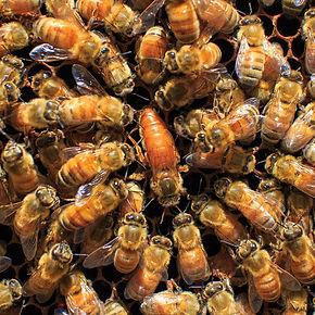 מלכת דבורים, אליס מילר, shantimayi