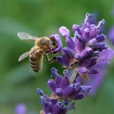 דבורים, אליס מילר, shantimayi