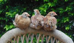 שלושה גוזלי תרנגולות
