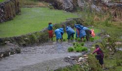 נשות הכפר שותלות אורז