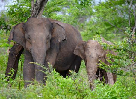 Zážitok na celý život: Voľne žijúce slony na Srí Lanke