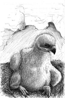 chick of Bonelli´s eagle