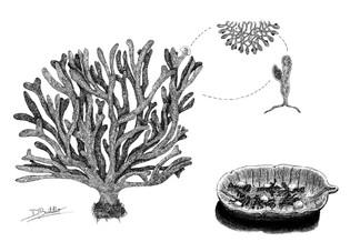 Codium tomentosum