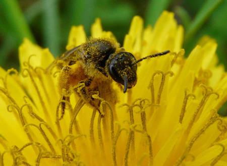 abeille qui butine, pleine de pollen