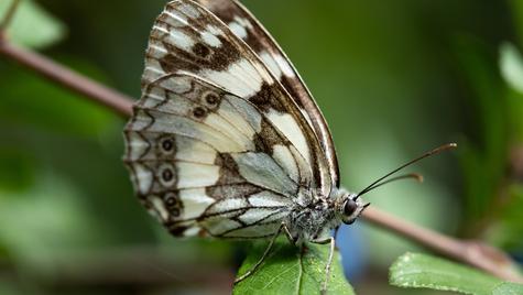 Pujols papillon