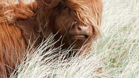 Highland Cattle, Sanna Bay