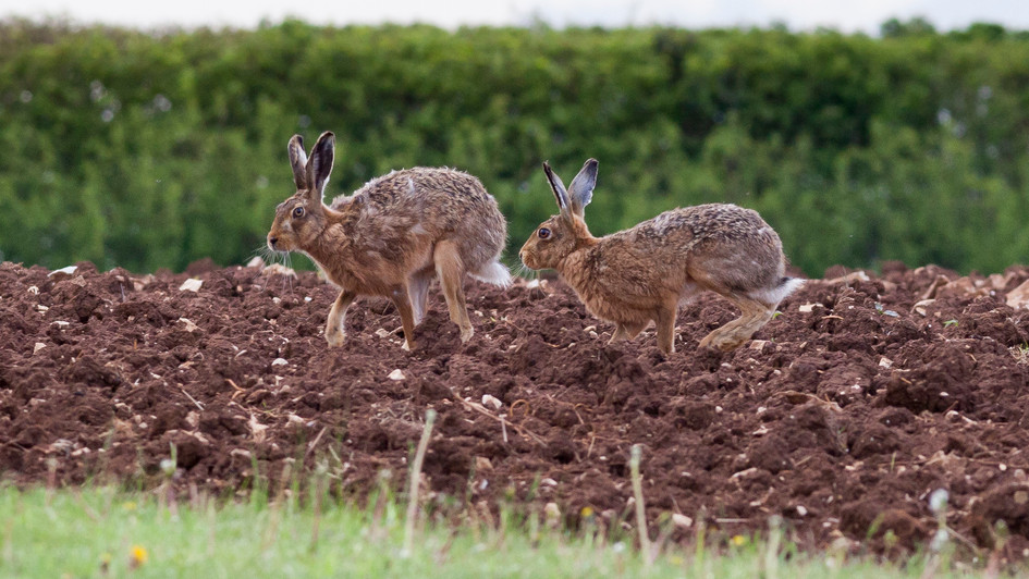 Cotswold hares
