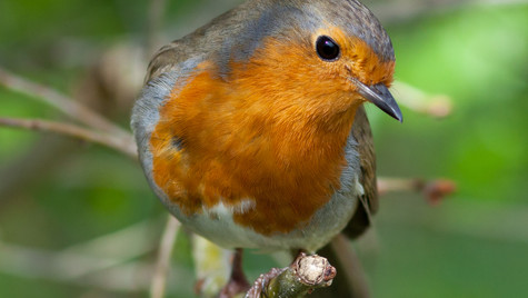 Robin in the hedgerow