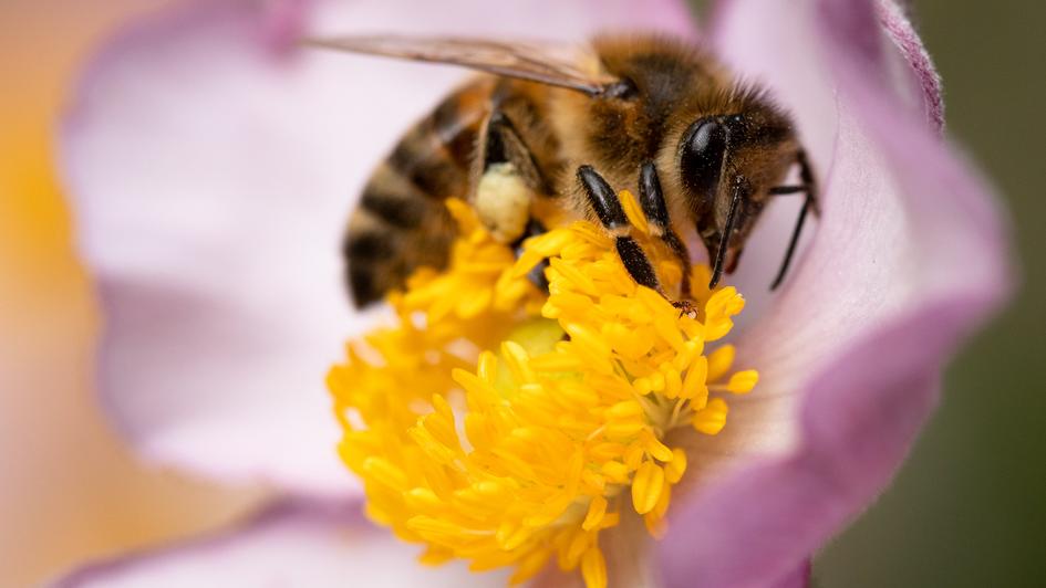 Honey bee in Postman's Park