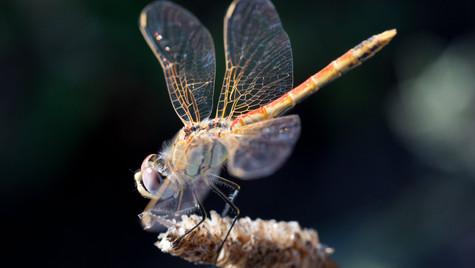 Cinque Terre Dragonfly