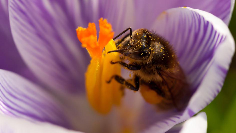 Honey bee in a crocus