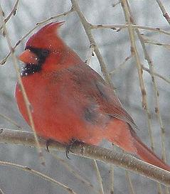 cardinalbirdc.jpeg