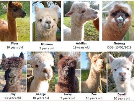 Meet the animals: Alpacas!