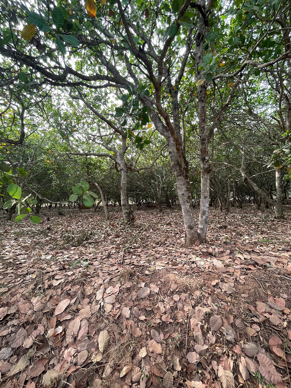 An orchard full of dwarf cashew trees in the off season.
