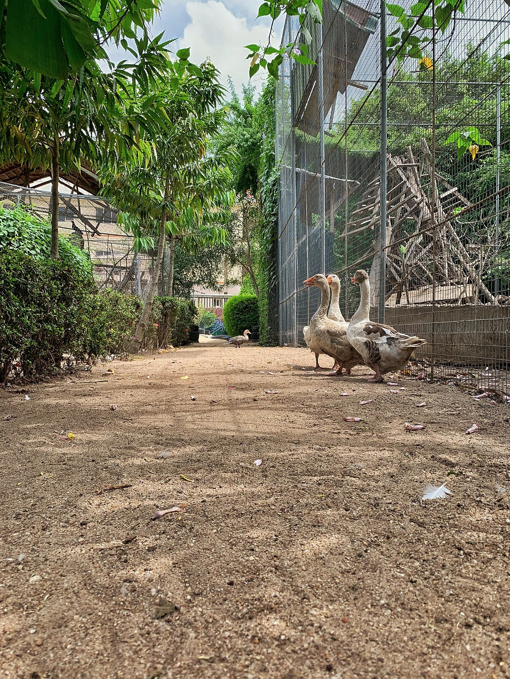 Geese at Greenfingers Wildlife Conservation