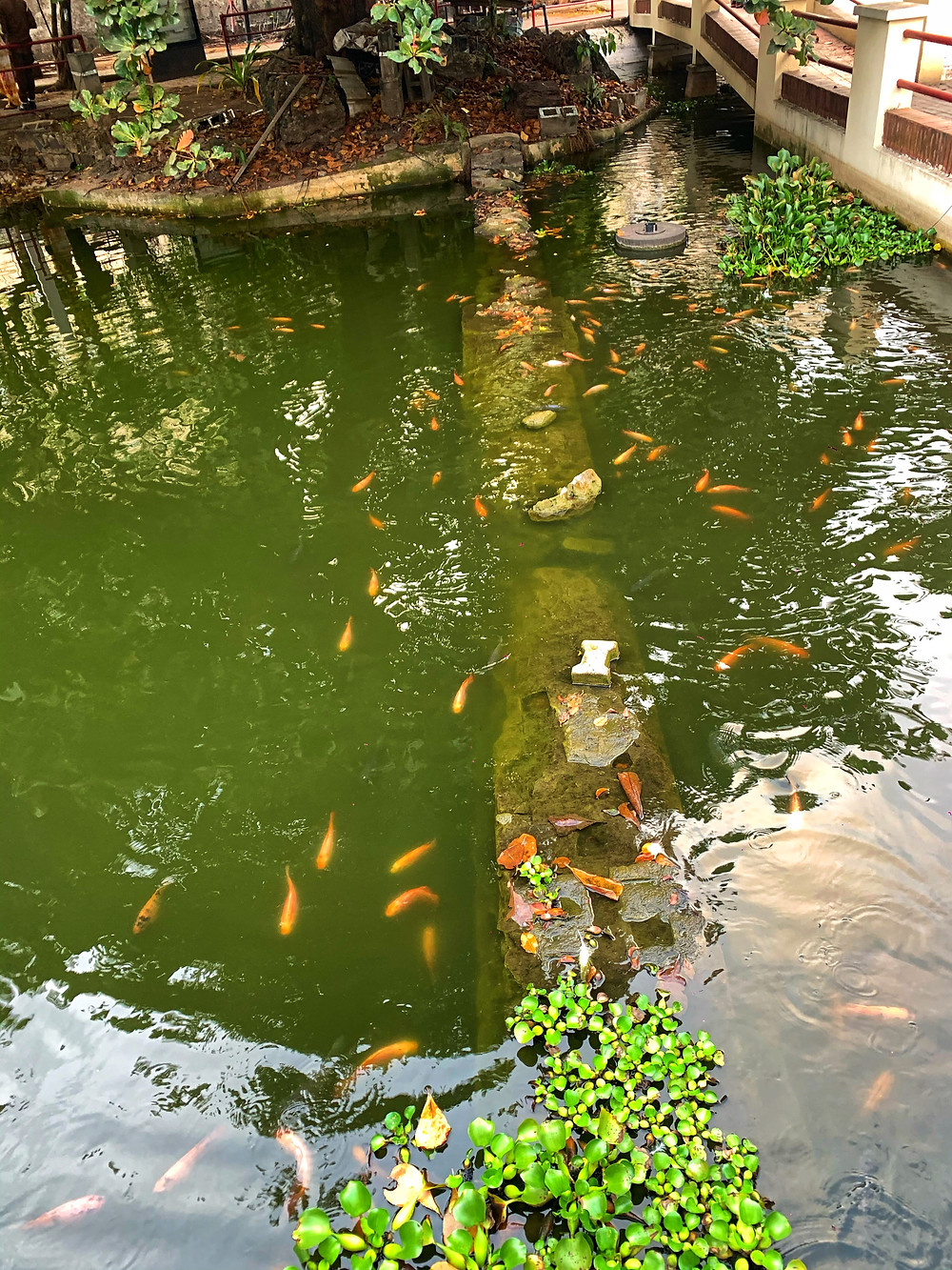 The Freedom park pond that is home to pink tilapia and koi fish