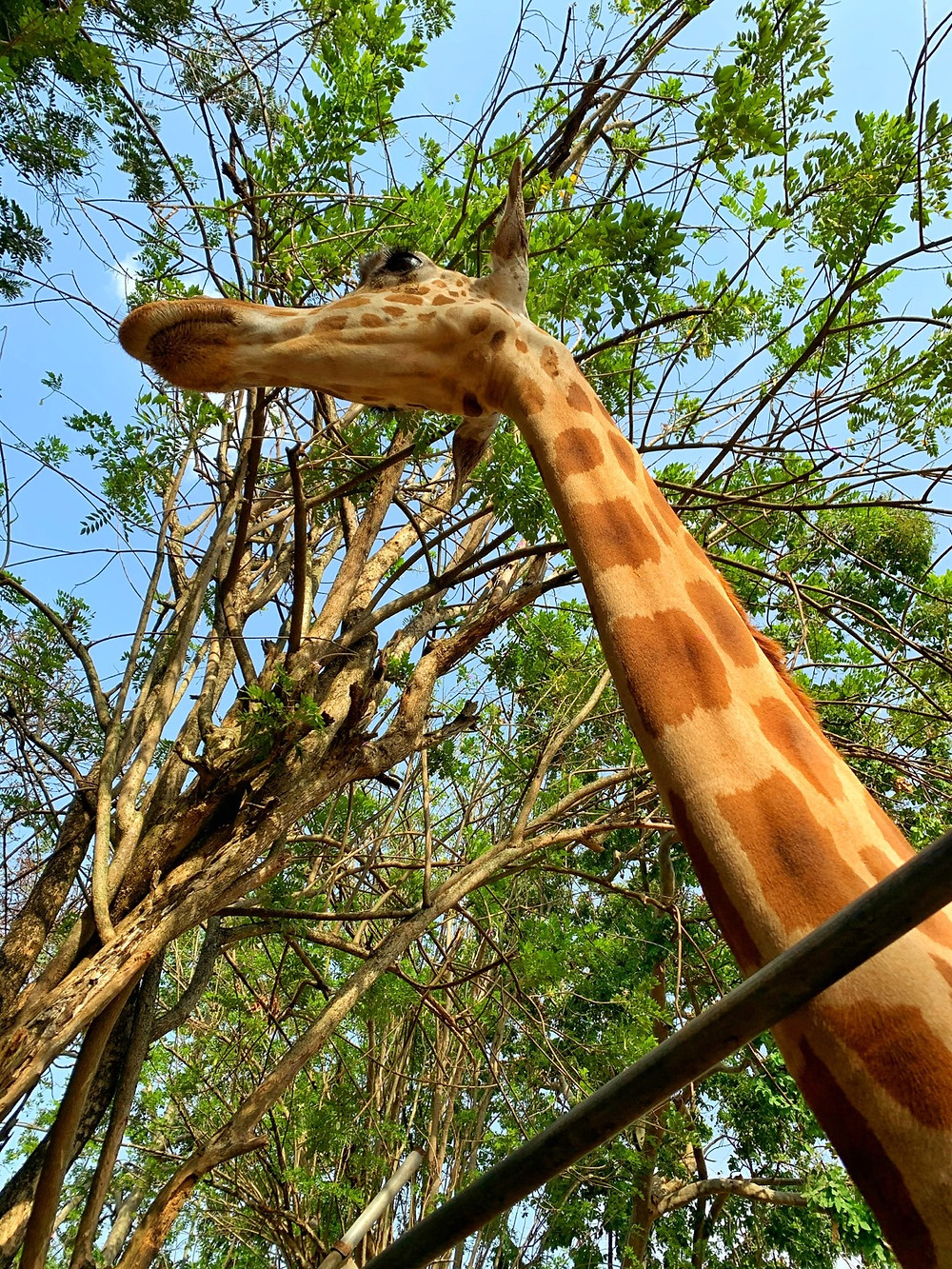 Giraffe at UI zoo