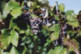 Vines I.JPG