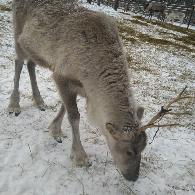 Lapland reindeer farm visit and 3.5km sa