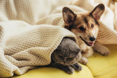 funny-scottish-fold-cat-and-welsh-corgi-
