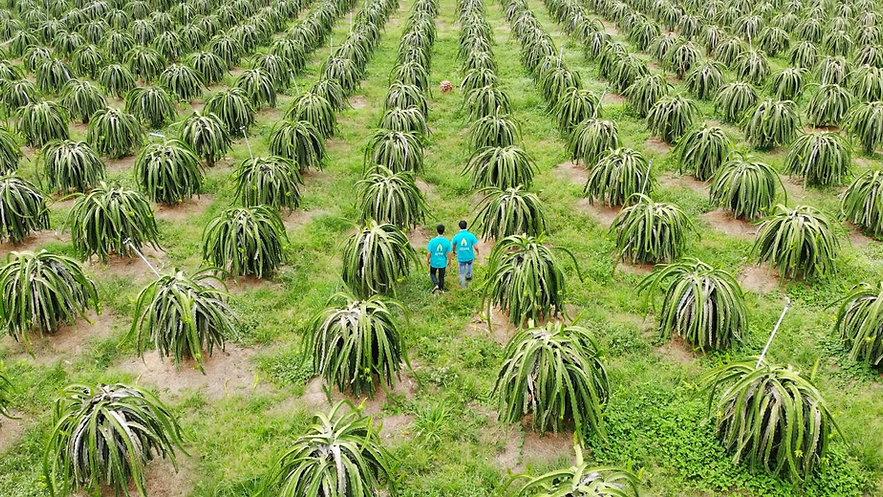 Dragon fruit field.jpg
