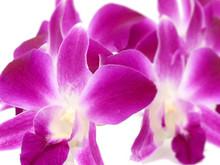 Fresh cut Purple Orchid
