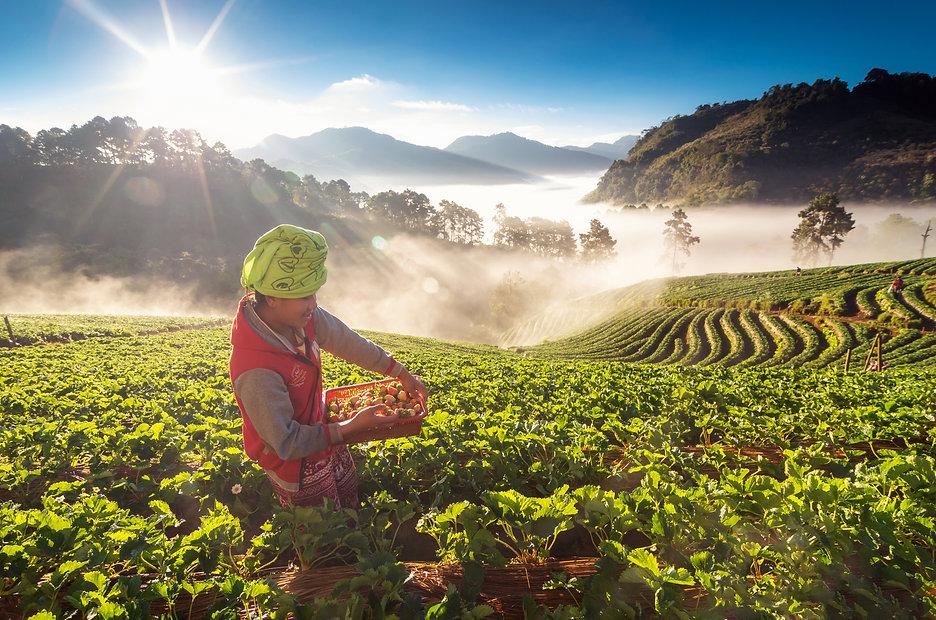 farmer-pick-in-strawberry-fruit-when-sun