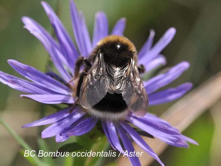 Quarterly Newsletter for the Native Bee Society of British Columbia