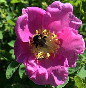 Quarterly Newsletter of the Native Bee Society of British Columbia