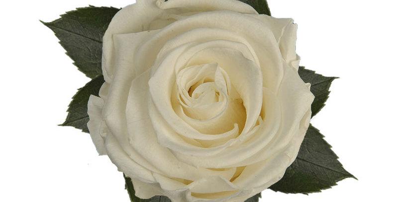 8 Roses Kiara blanche