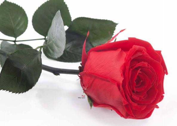 Rose tige (50cm)