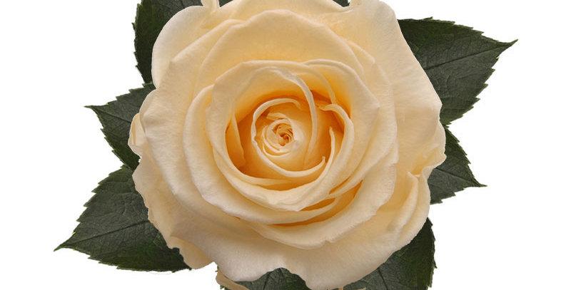 8 Roses Kiara orange