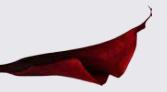 Calla rouge