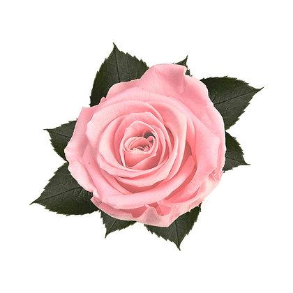 8 Roses Kiara rose